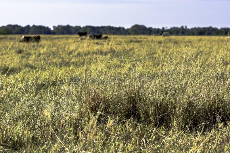 Κλείστε επάνω της χλόης με τα βοοειδή στο υπόβαθρο στοκ εικόνα