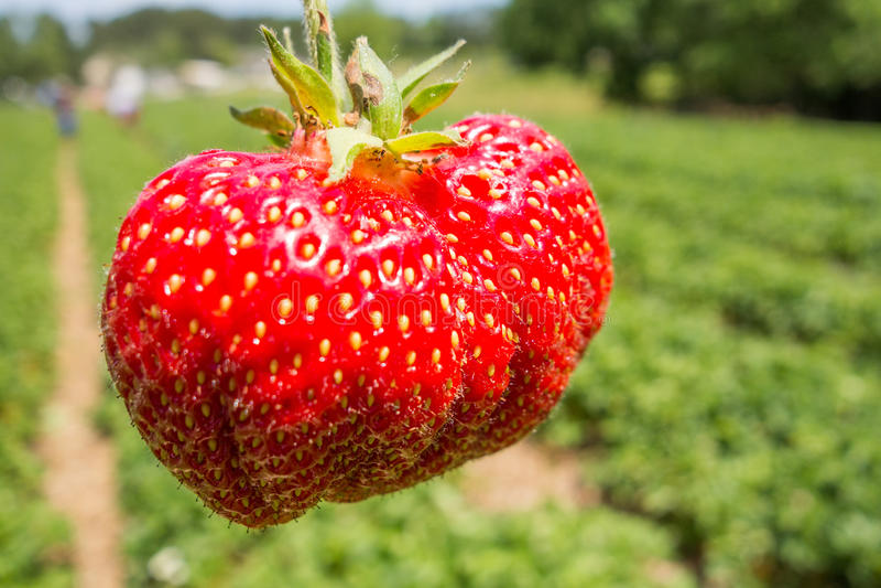 Κλείστε επάνω τη φράουλα με τη φύτευση του υποβάθρου φραουλών στοκ εικόνα