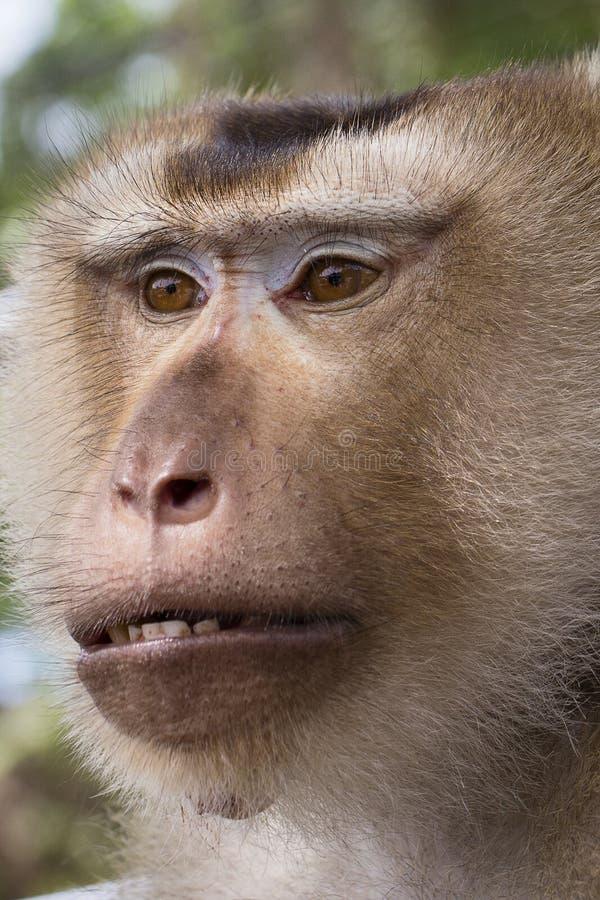 Κλείστε επάνω τον πίθηκο προσώπου στοκ φωτογραφίες με δικαίωμα ελεύθερης χρήσης
