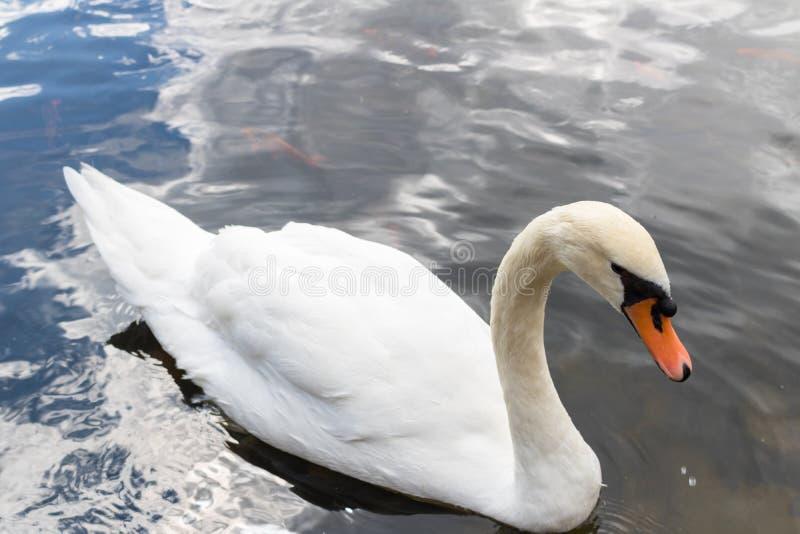 Κλείστε επάνω τον όμορφο άσπρο κύκνο που κολυμπά στο νερό στοκ φωτογραφία με δικαίωμα ελεύθερης χρήσης