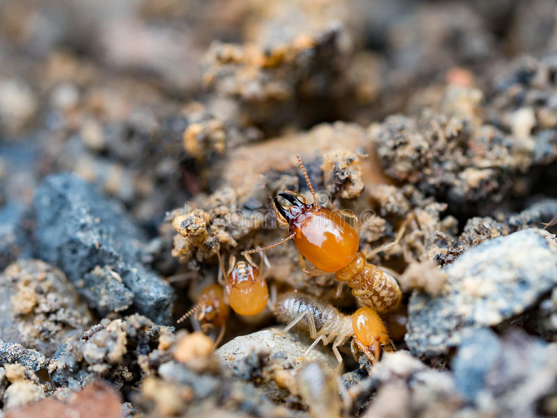 Κλείστε επάνω τους τερμίτες ή τα άσπρα μυρμήγκια που καταστρέφονται στοκ φωτογραφία