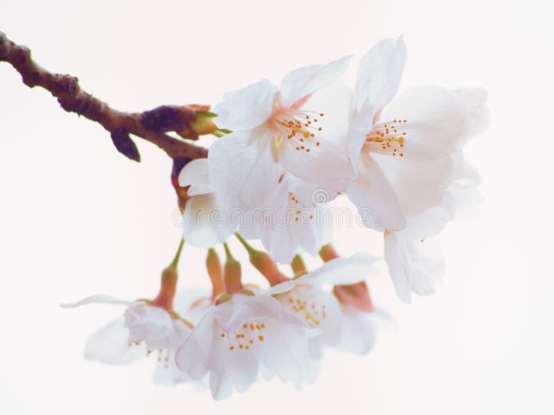 Κλείστε επάνω του άνθους δέντρων κερασιών Yoshino στην πλήρη άνθιση στοκ φωτογραφία