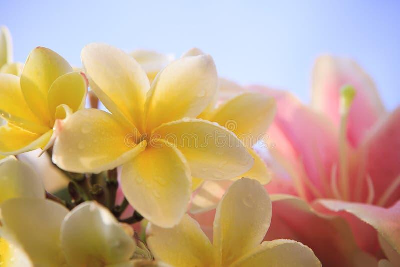 Κλείστε επάνω του άσπρου κίτρινου πετάλου λουλουδιών frangipani με το ροζ lilly στοκ εικόνες
