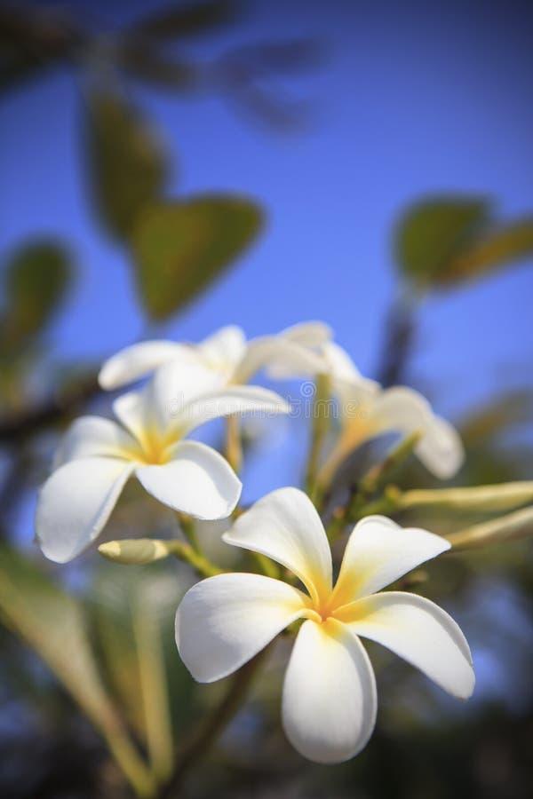 Κλείστε επάνω του άσπρου λουλουδιού ανθοδεσμών frangipani στις εγκαταστάσεις δέντρων vertic στοκ φωτογραφίες