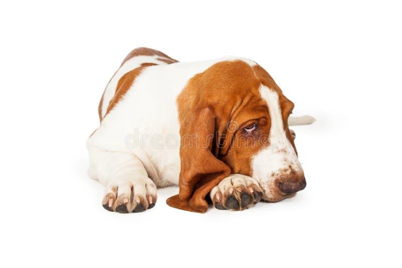 Κλείστε επάνω του λατρευτού σκυλιού κυνηγόσκυλων μπασέ στοκ εικόνες με δικαίωμα ελεύθερης χρήσης