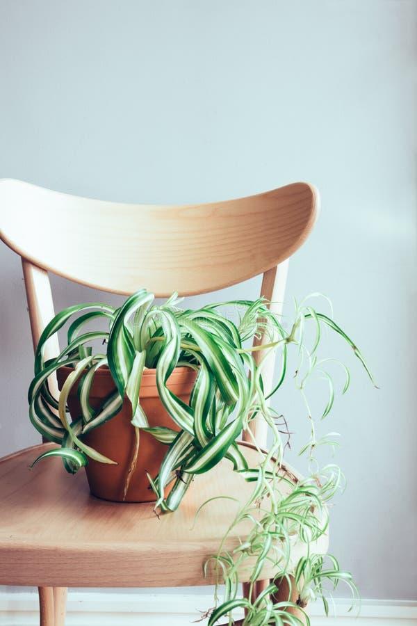 Κλείστε επάνω του εσωτερικού φυτού γλαστρών στην ξύλινη καρέκλα στοκ εικόνες