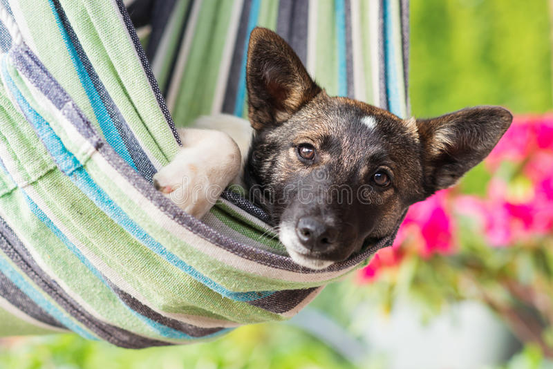 Κλείστε επάνω του ευτυχούς σκυλιού στη ριγωτή αιώρα στοκ εικόνα