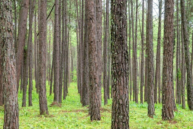 Κλείστε επάνω του κορμού σύστασης στο δάσος πεύκων στοκ εικόνα