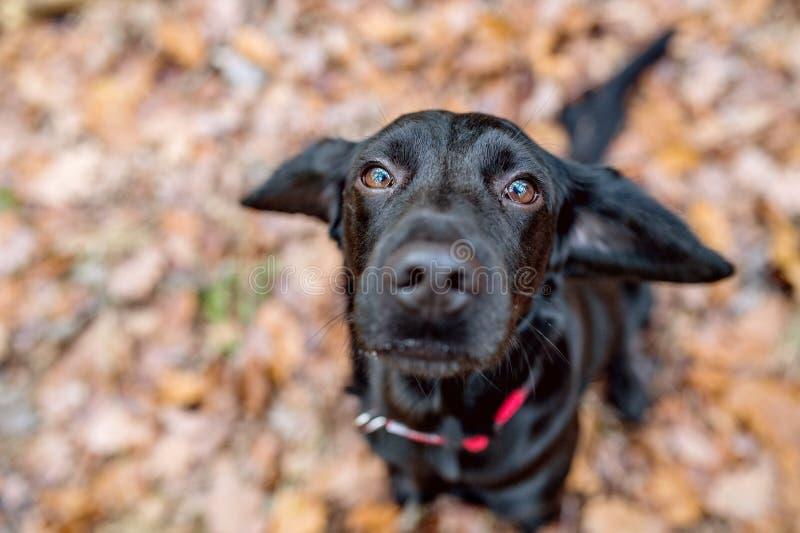 Κλείστε επάνω του μαύρου σκυλιού έξω, ηλιόλουστο δάσος φθινοπώρου στοκ εικόνα με δικαίωμα ελεύθερης χρήσης
