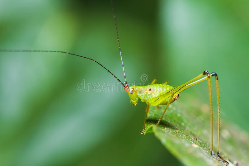 Μικρό πράσινο φύλλο Katydid στοκ εικόνα