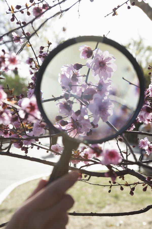 Κλείστε επάνω του νέου χεριού αγοριών κρατώντας μια ενίσχυση - γυαλί πέρα από ένα άνθος κερασιών στο πάρκο στην άνοιξη στοκ εικόνες