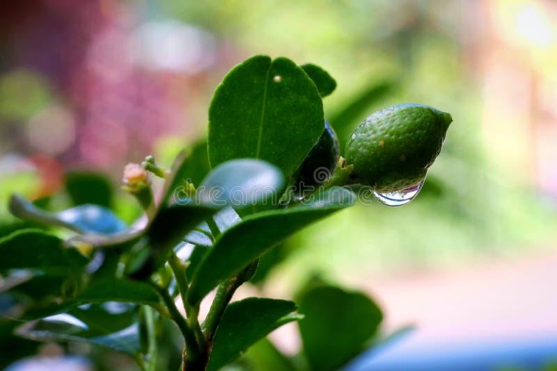 Κλείστε επάνω του πορτοκαλιού jessamine& x27 s fruits& x28 Murraya paniculata& x29  με το ρ στοκ εικόνες
