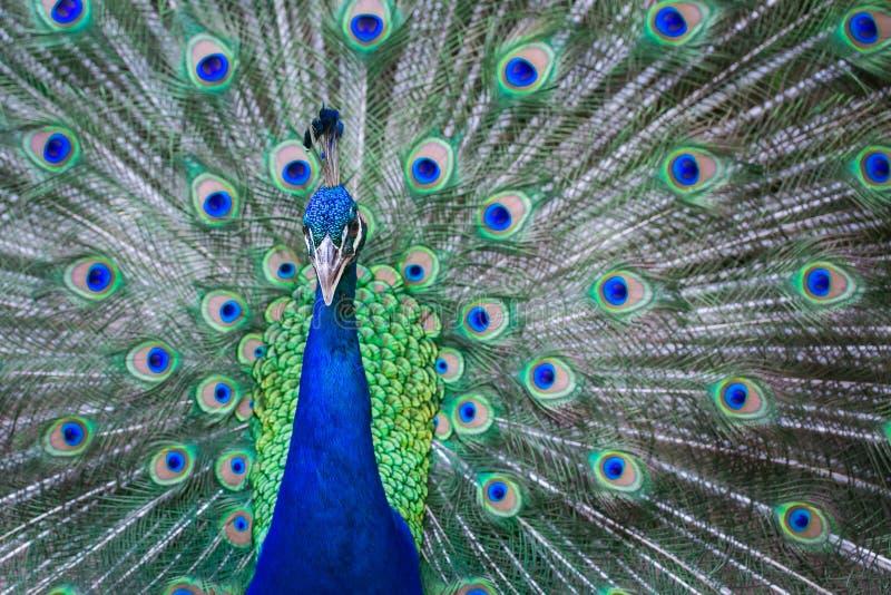 Κλείστε επάνω του όμορφου αρσενικού peacock με τα πράσινα φτερά στοκ φωτογραφία με δικαίωμα ελεύθερης χρήσης