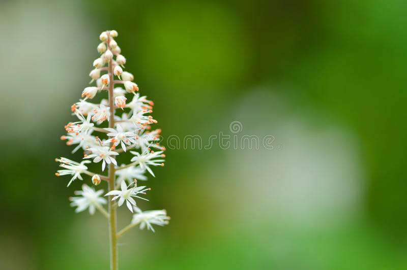 Κλείστε επάνω του cordifolia Tiarella (λουλούδι αφρού) στοκ φωτογραφία