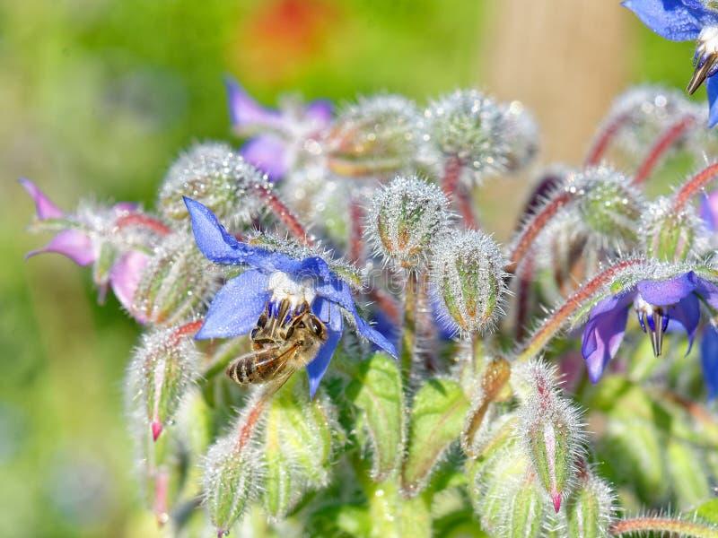 Κλείστε επάνω του starflower με τη δροσιά και τη μέλισσα στοκ εικόνες