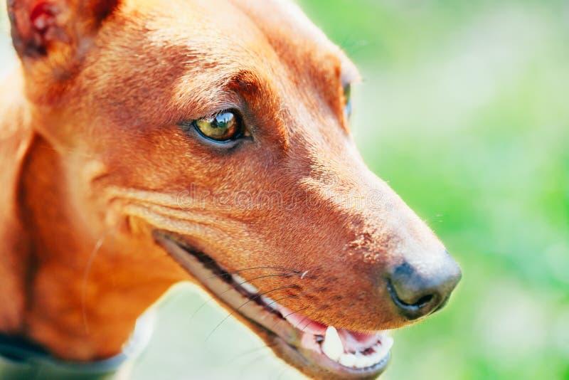 Κλείστε επάνω το καφετί κεφάλι Pinscher σκυλιών μικροσκοπικό στοκ εικόνες