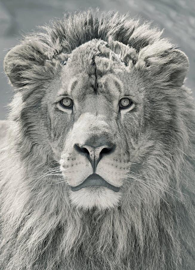Κλείστε επάνω το κεφάλι λιονταριών στοκ εικόνα με δικαίωμα ελεύθερης χρήσης
