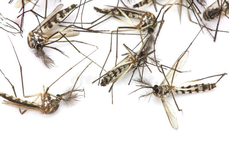 Κλείστε επάνω το κουνούπι που απομονώνεται στο άσπρο υπόβαθρο στοκ εικόνα