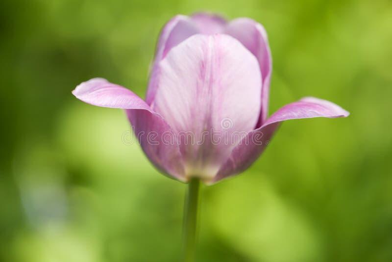 Κλείστε επάνω το μακρο πορφυρό λουλούδι τουλιπών στοκ εικόνες