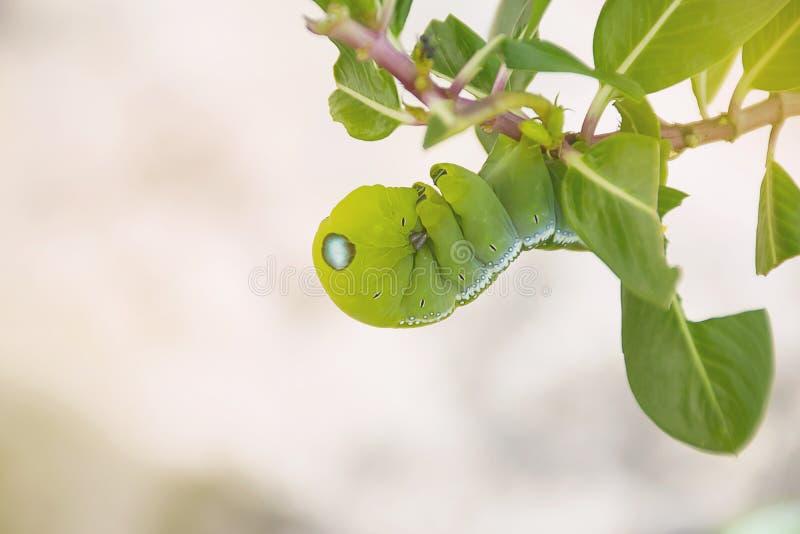 Κλείστε επάνω το πράσινο σκουλήκι στοκ εικόνες με δικαίωμα ελεύθερης χρήσης