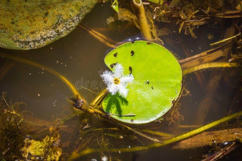 Κλείστε επάνω το τροπικό άσπρο λουλούδι στοκ φωτογραφίες με δικαίωμα ελεύθερης χρήσης