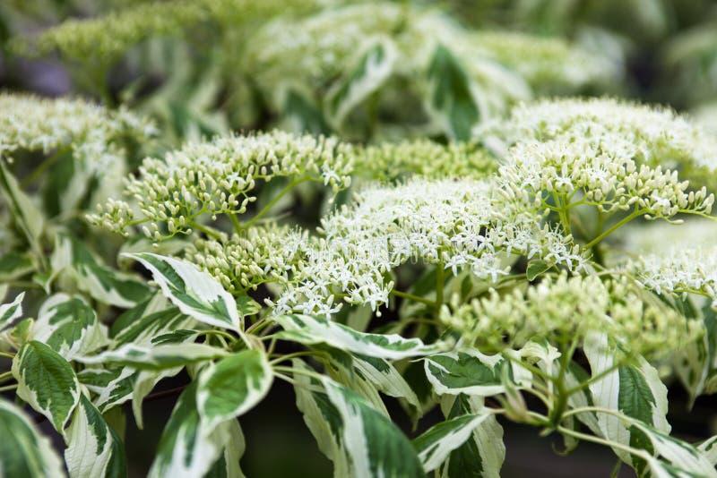 Κλείστε επάνω των άσπρων λουλουδιών και των φύλλων dogwood στοκ εικόνες