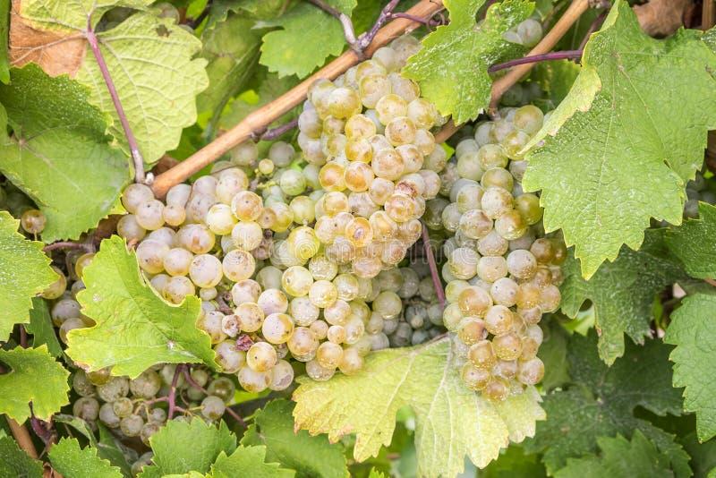 Κλείστε επάνω των άσπρων σταφυλιών κρασιού Riesling #2 στοκ εικόνα