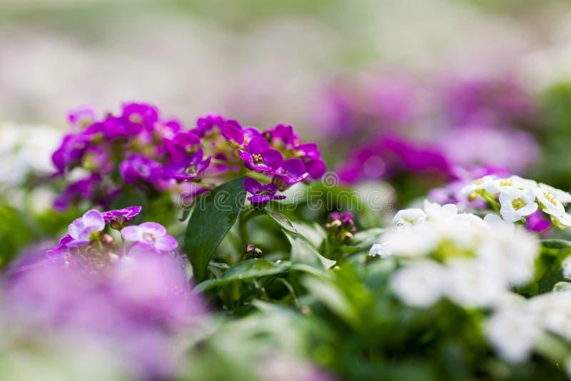 Κλείστε επάνω των αρκετά ρόδινων, άσπρων και πορφυρών λουλουδιών Alyssum, το Cruciferae ετήσιο ανθίζοντας φυτό στοκ εικόνα