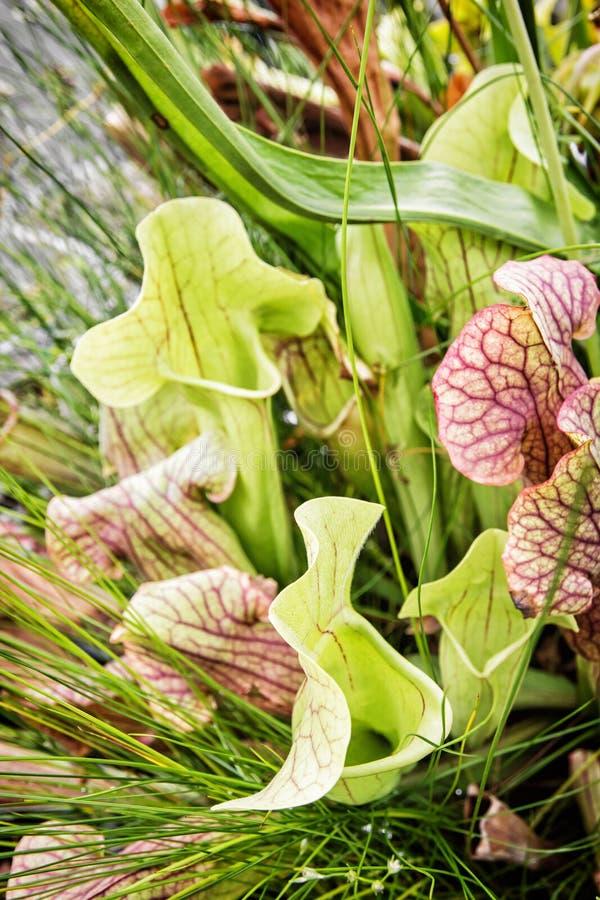 Κλείστε επάνω των εγκαταστάσεων σαλπίγγων Sarracenia στοκ εικόνες με δικαίωμα ελεύθερης χρήσης