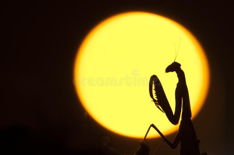 Κλείστε επάνω των θηλυκών mantis επίκλησης στοκ εικόνες