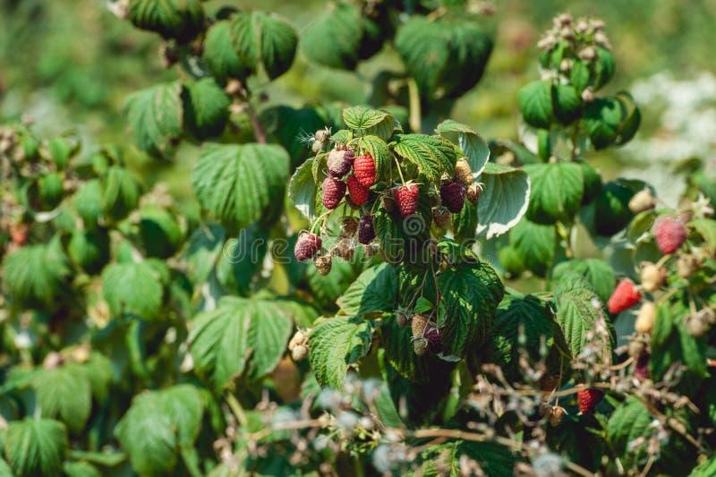 Κλείστε επάνω των φρέσκων οργανικών μούρων με τα πράσινα φύλλα στον κάλαμο σμέουρων Θερινός κήπος στο χωριό στοκ φωτογραφίες
