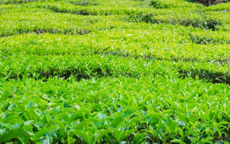 Κλείστε επάνω των φυτειών τσαγιού κοντά στην κοιλάδα του Cameron στοκ εικόνα με δικαίωμα ελεύθερης χρήσης