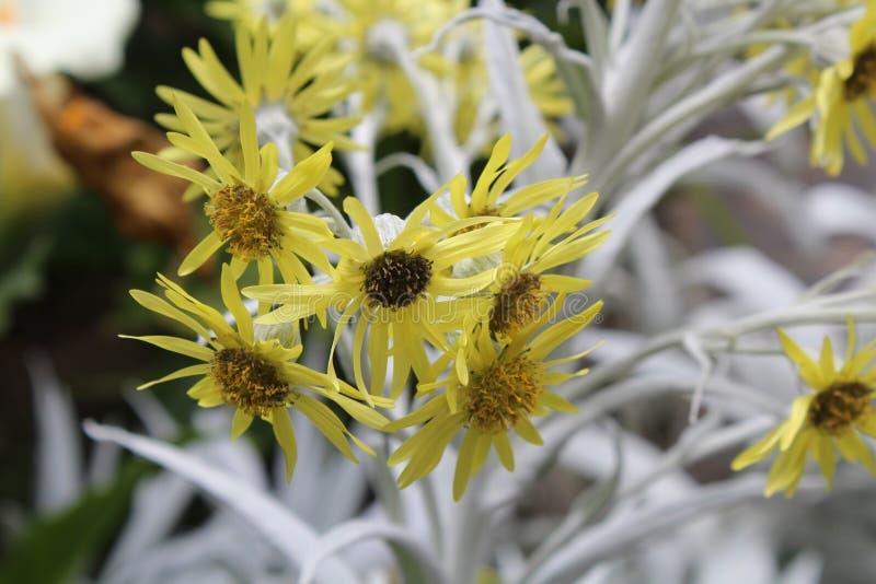 Κλείστε επάνω των χρυσών, κίτρινων λουλουδιών nivea Senecio με τα ασημένια φύλλα στοκ φωτογραφίες με δικαίωμα ελεύθερης χρήσης