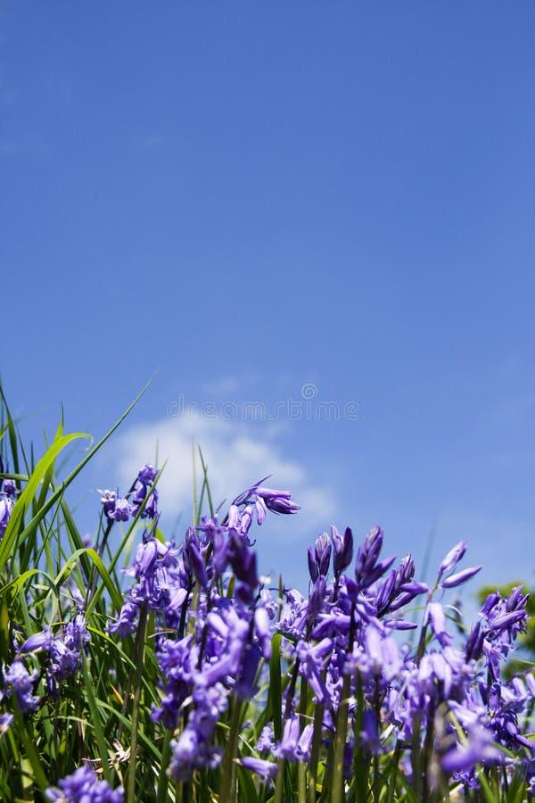 Κλείστε επάνω των bluebells στοκ φωτογραφία με δικαίωμα ελεύθερης χρήσης