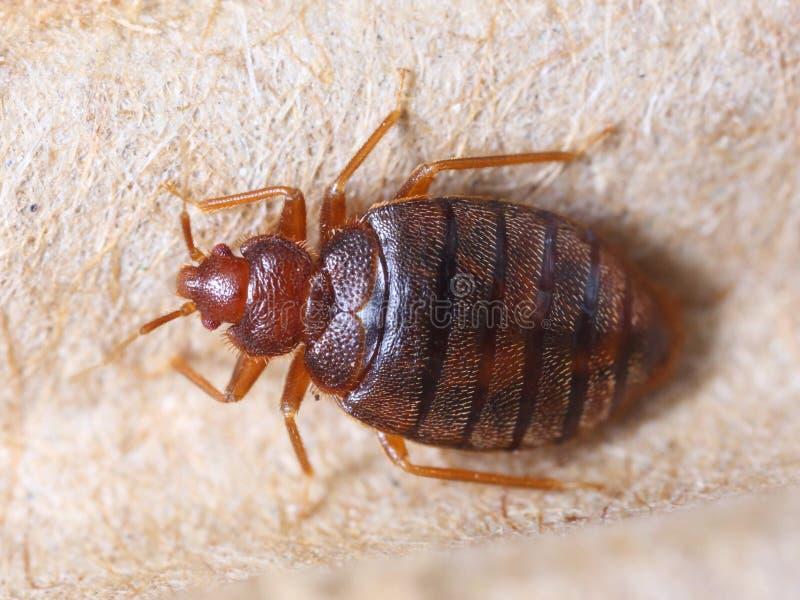 Hemipterus Cimex στοκ φωτογραφία με δικαίωμα ελεύθερης χρήσης