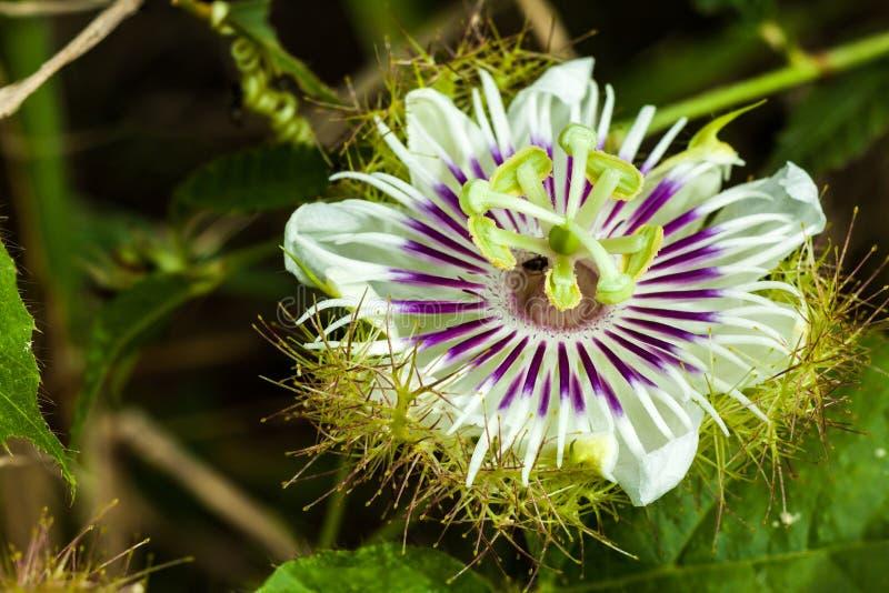 Κλείστε επάνω Scarletfruit passionflower στοκ φωτογραφίες