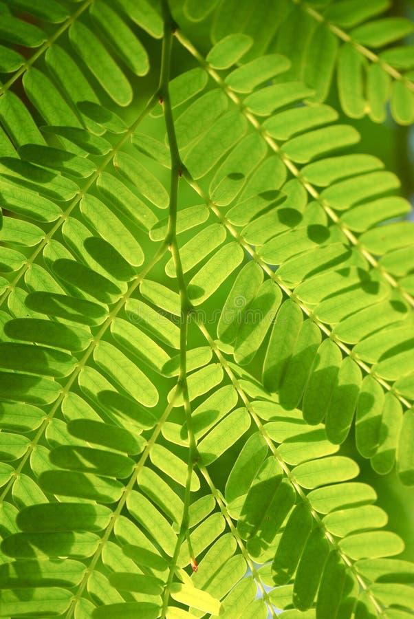 Κλείστε επάνω tamarind του φύλλου στοκ φωτογραφίες