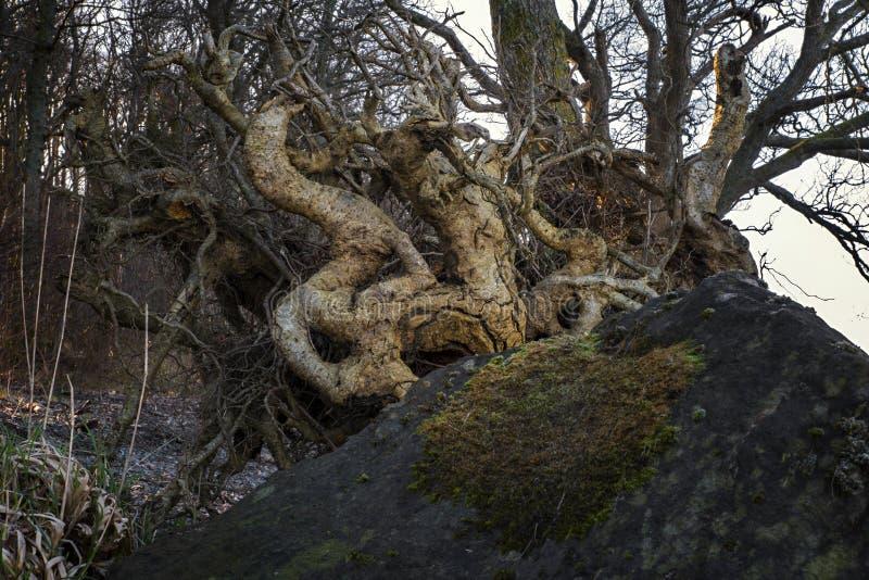 Κλείστε το λεπτομερή πυροβολισμό των ριζών δέντρων στην ανατολή στοκ εικόνες με δικαίωμα ελεύθερης χρήσης