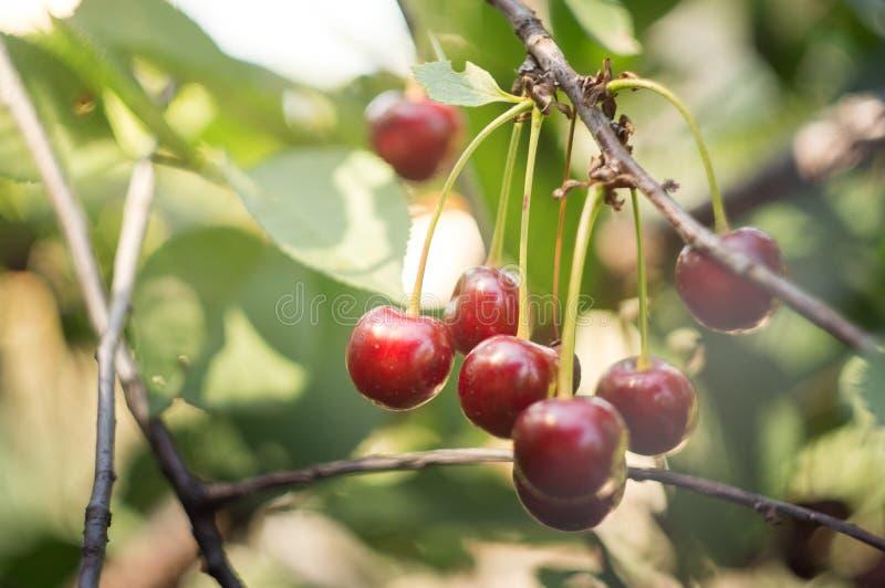 κλείστε το κόκκινο κεράσι μεγαλώνει στο δέντρο στοκ φωτογραφίες