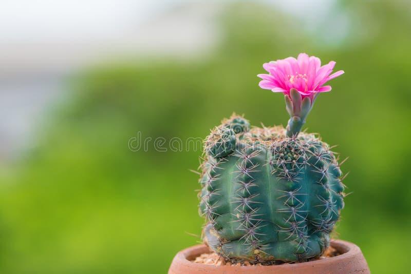 Κλειστοί επάνω κάκτος και λουλούδι στο δοχείο στοκ φωτογραφία με δικαίωμα ελεύθερης χρήσης