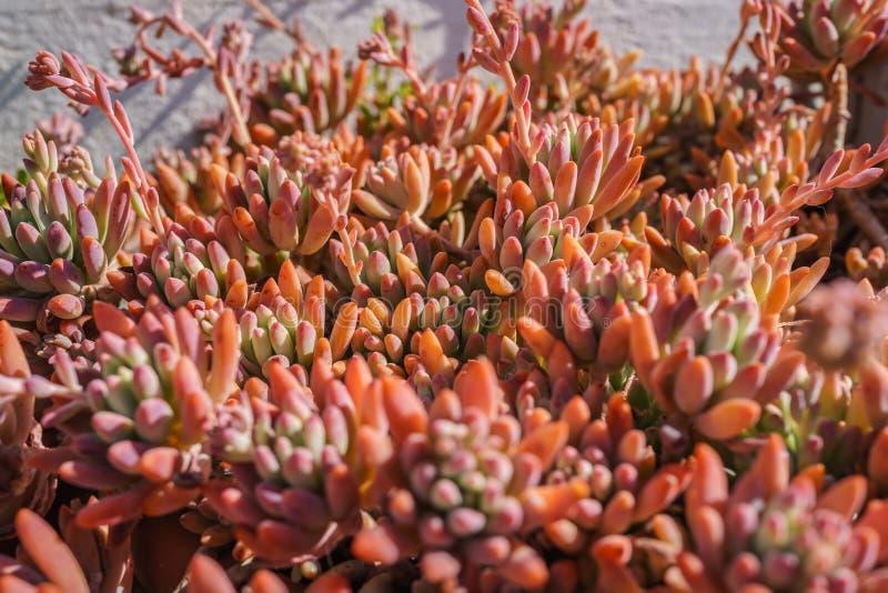 Κλειστός επάνω του ζωηρόχρωμου κόκκινου και πορτοκαλιού κάκτου succulent σε φωτεινό στοκ εικόνες