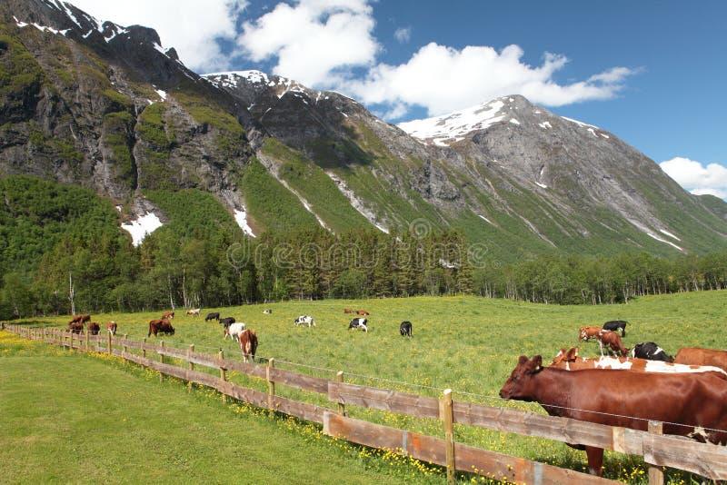 Κλειστό λιβάδι με τις αγελάδες στοκ εικόνα με δικαίωμα ελεύθερης χρήσης