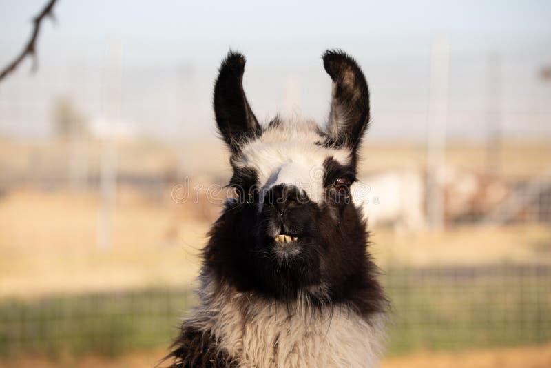 Λάμα πορτρέτα: γλυκιά, αστεία συλλογή προσώπου για τους εραστές ζώων στοκ φωτογραφίες με δικαίωμα ελεύθερης χρήσης