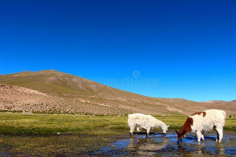 Λάμα που στο έδαφος έλους της Βολιβίας στοκ φωτογραφίες
