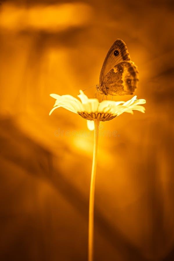 Λάφυρο πεταλούδων εντόμων σε μια κινηματογράφηση σε πρώτο πλάνο λουλουδιών το καλοκαίρι στοκ φωτογραφίες