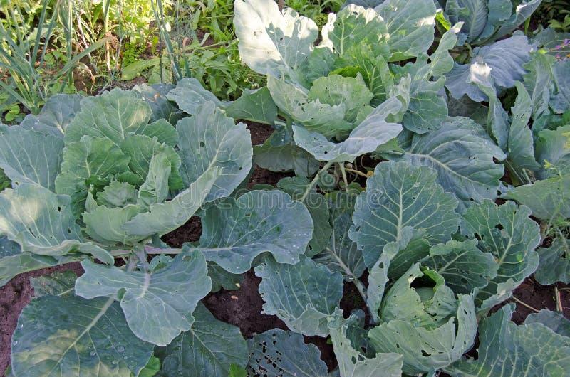 Λάχανο με τα φύλλα στον κήπο στοκ φωτογραφία με δικαίωμα ελεύθερης χρήσης
