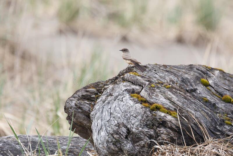 Λέει το πουλί της Phoebe στοκ εικόνα με δικαίωμα ελεύθερης χρήσης