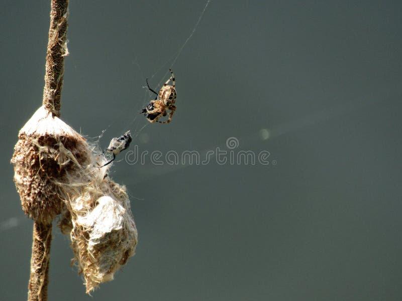 Λίγη αράχνη επίασε μια μύγα στοκ φωτογραφίες