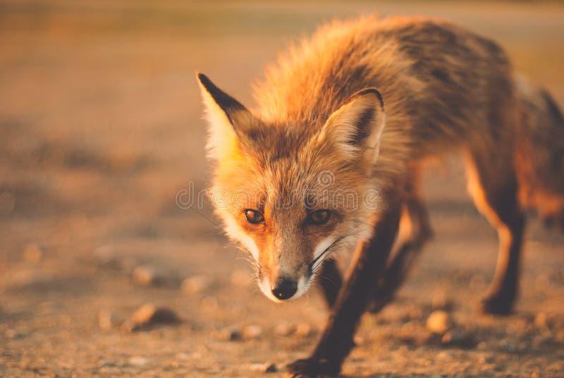Λίγη αλεπού στοκ φωτογραφίες