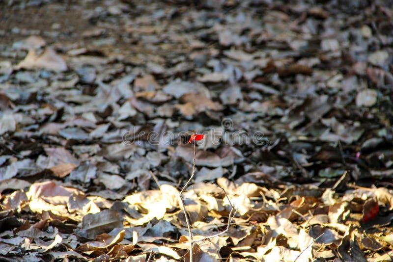 Λίγη κόκκινη πεταλούδα που στέκεται σε Siem συγκεντρώνει, Camiabod στοκ εικόνες